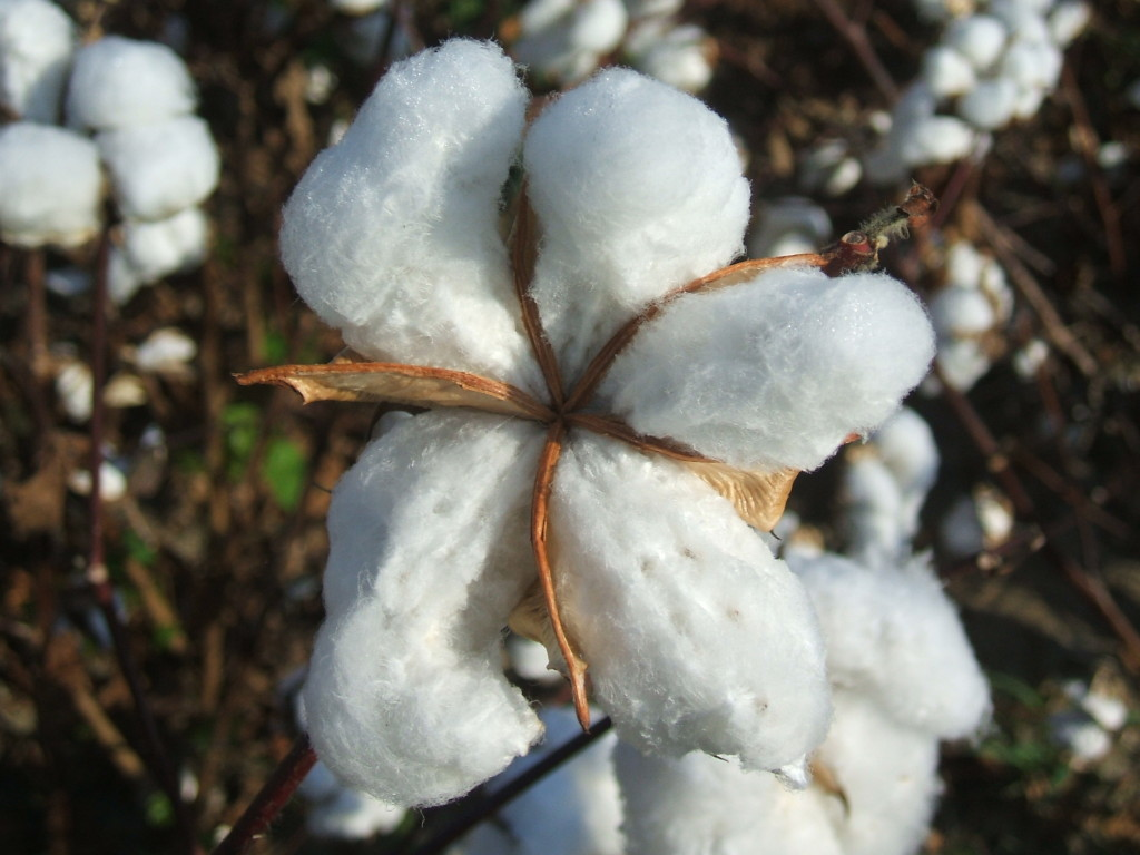 cotton plant chat sites Live chat call me help cotton plant wreath is rated 47 out of 5 by 27 cotton balls are added to real cotton plant pods to make this wreath 14 diam.